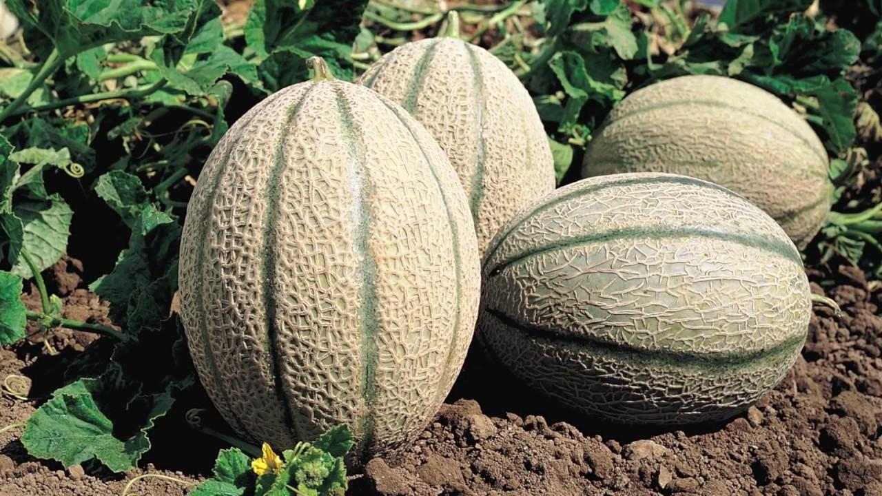 Melon 500 – 600 gr, (7,70€/Kg)